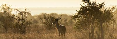 Awesome South Africa Collection Panoramic - Impala Sunrise-Philippe Hugonnard-Photographic Print