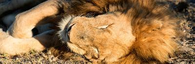 Awesome South Africa Collection Panoramic - Lion sleeping at Sunset-Philippe Hugonnard-Photographic Print