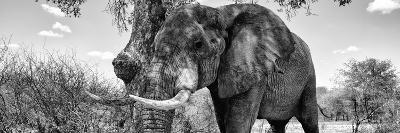 Awesome South Africa Collection Panoramic - Male African Elephant B&W-Philippe Hugonnard-Photographic Print