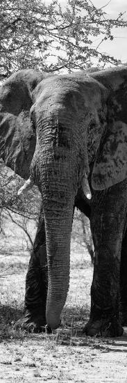 Awesome South Africa Collection Panoramic - Old African Elephant B&W-Philippe Hugonnard-Photographic Print