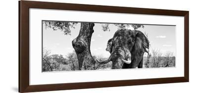 Awesome South Africa Collection Panoramic - Portrait of African Elephant in Savannah II B&W-Philippe Hugonnard-Framed Photographic Print