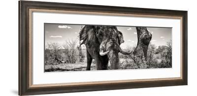 Awesome South Africa Collection Panoramic - Portrait of African Elephant in Savannah III B&W-Philippe Hugonnard-Framed Photographic Print
