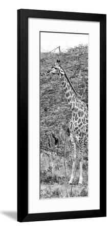Awesome South Africa Collection Panoramic - Portrait of Giraffe B&W-Philippe Hugonnard-Framed Photographic Print