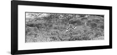 Awesome South Africa Collection Panoramic - Portrait of Giraffe Peering through Tree B&W-Philippe Hugonnard-Framed Photographic Print