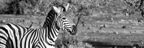 Awesome South Africa Collection Panoramic - Redbilled Oxpecker on Burchell's Zebra II B&W-Philippe Hugonnard-Photographic Print