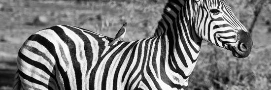 Awesome South Africa Collection Panoramic - Redbilled Oxpecker on Burchell's Zebra III B&W-Philippe Hugonnard-Photographic Print