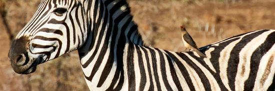 Awesome South Africa Collection Panoramic - Redbilled Oxpecker on Burchell's Zebra V-Philippe Hugonnard-Photographic Print