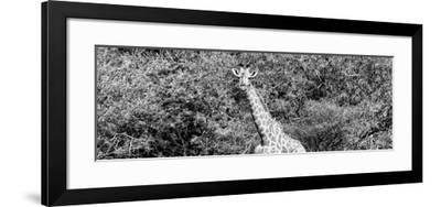 Awesome South Africa Collection Panoramic - Rothschild Giraffe II B&W-Philippe Hugonnard-Framed Photographic Print