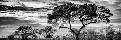 Awesome South Africa Collection Panoramic - Tree Silhouetted at Sunset B&W-Philippe Hugonnard-Photographic Print
