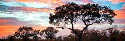 Awesome South Africa Collection Panoramic - Tree Silhouetted at Sunset-Philippe Hugonnard-Photographic Print