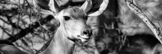 Awesome South Africa Collection Panoramic - Young Impala B&W-Philippe Hugonnard-Photographic Print