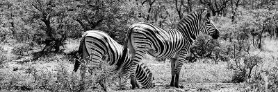 Awesome South Africa Collection Panoramic - Zebras Africa B&W-Philippe Hugonnard-Photographic Print