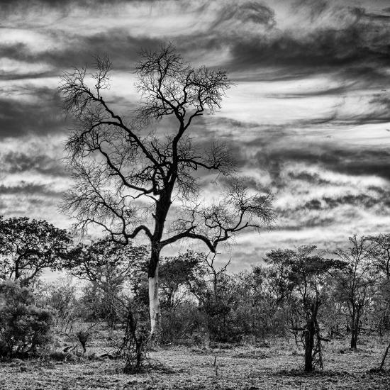 Awesome South Africa Collection Square - Acacia Tree in Savannah II-Philippe Hugonnard-Photographic Print