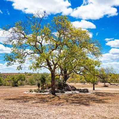 Awesome South Africa Collection Square - African Acacia Tree-Philippe Hugonnard-Photographic Print