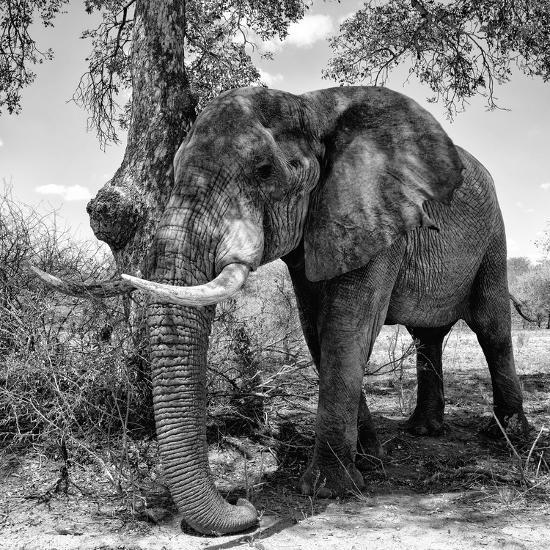 Awesome South Africa Collection Square - African Elephant B&W-Philippe Hugonnard-Photographic Print
