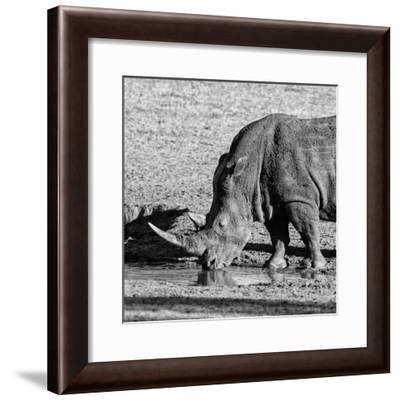 Awesome South Africa Collection Square - Black Rhino drinking from pool of water-Philippe Hugonnard-Framed Photographic Print