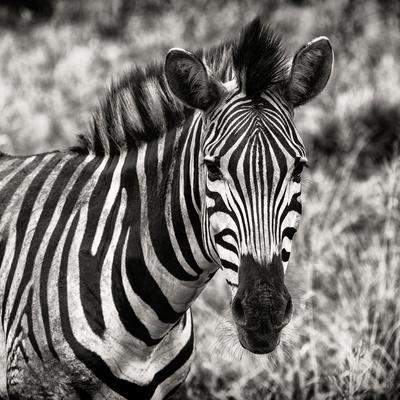 https://imgc.artprintimages.com/img/print/awesome-south-africa-collection-square-burchell-s-zebra-portrait-ii-sepia_u-l-q120qsy0.jpg?p=0