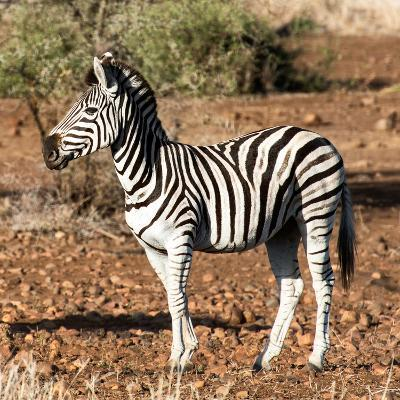 Awesome South Africa Collection Square - Burchell's Zebra Profile-Philippe Hugonnard-Photographic Print