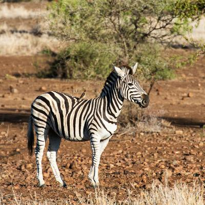 Awesome South Africa Collection Square - Burchell's Zebra with Oxpecker-Philippe Hugonnard-Photographic Print