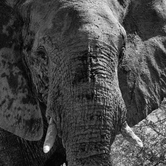 Awesome South Africa Collection Square - Close-Up of African Elephant B&W-Philippe Hugonnard-Photographic Print