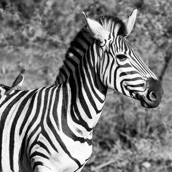 Awesome South Africa Collection Square - Close-Up of Burchell's Zebra with Oxpecker B&W-Philippe Hugonnard-Photographic Print