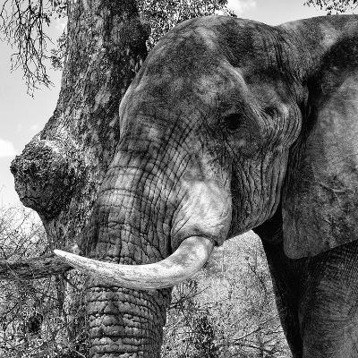 Awesome South Africa Collection Square - Close-Up of Elephant B&W-Philippe Hugonnard-Photographic Print