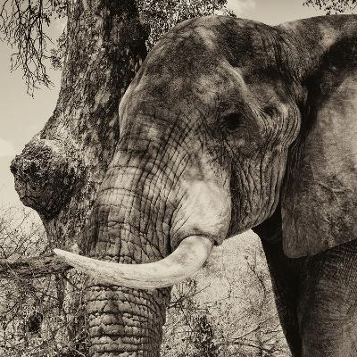 Awesome South Africa Collection Square - Close-Up of Elephant Sepia-Philippe Hugonnard-Photographic Print