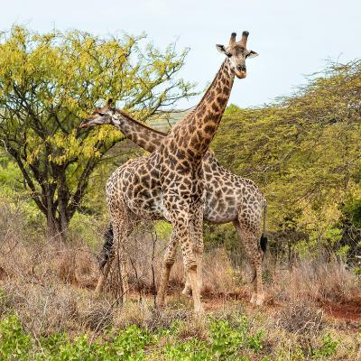 Awesome South Africa Collection Square - Crossing Giraffes-Philippe Hugonnard-Photographic Print