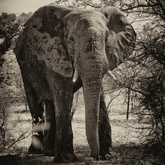 Awesome South Africa Collection Square - Elephant Portrait II-Philippe Hugonnard-Photographic Print
