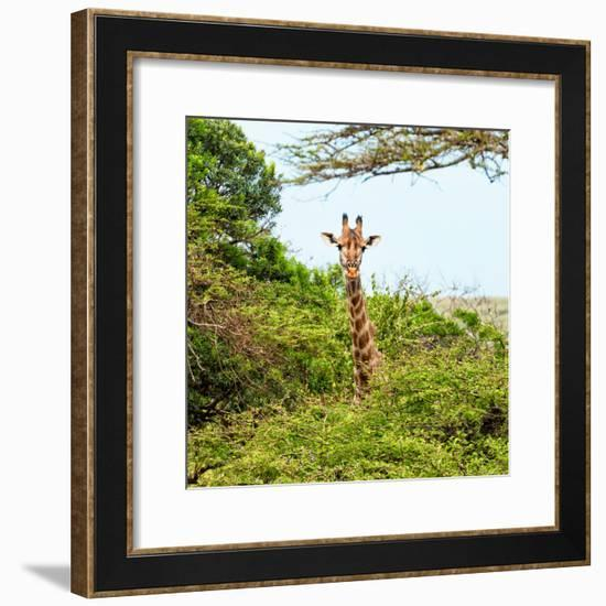Awesome South Africa Collection Square - Giraffe in Trees-Philippe Hugonnard-Framed Photographic Print