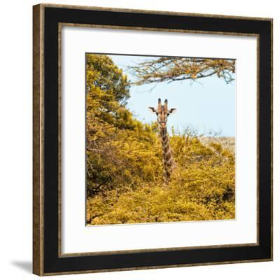 Awesome South Africa Collection Square - Giraffe in Yellow Trees-Philippe Hugonnard-Framed Photographic Print