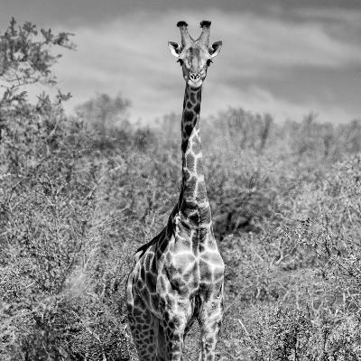 Awesome South Africa Collection Square - Giraffe Portrait B&W-Philippe Hugonnard-Photographic Print