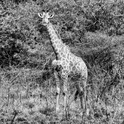 Awesome South Africa Collection Square - Giraffe Portrait II B&W-Philippe Hugonnard-Photographic Print