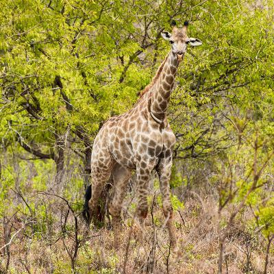 Awesome South Africa Collection Square - Giraffe Portrait III-Philippe Hugonnard-Photographic Print