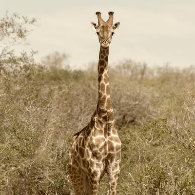 Awesome South Africa Collection Square - Giraffe Portrait-Philippe Hugonnard-Photographic Print