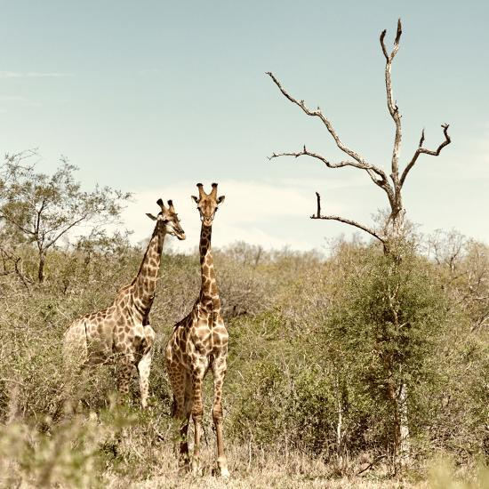 Awesome South Africa Collection Square - Giraffes in Savannah II-Philippe Hugonnard-Photographic Print