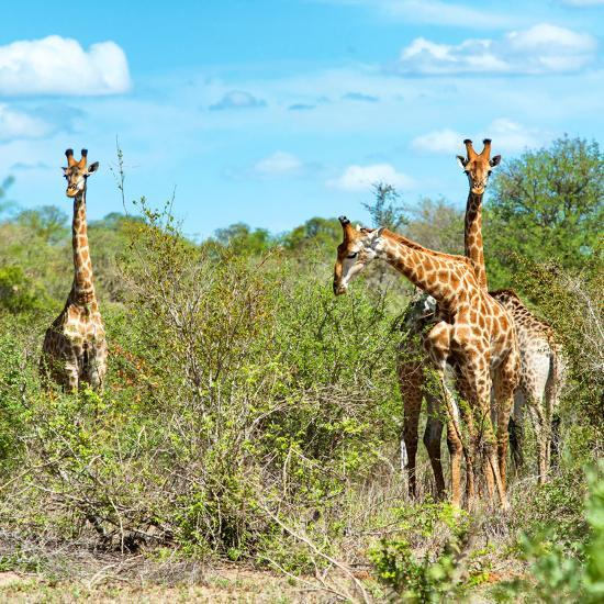 Awesome South Africa Collection Square - Herd of Giraffes-Philippe Hugonnard-Photographic Print