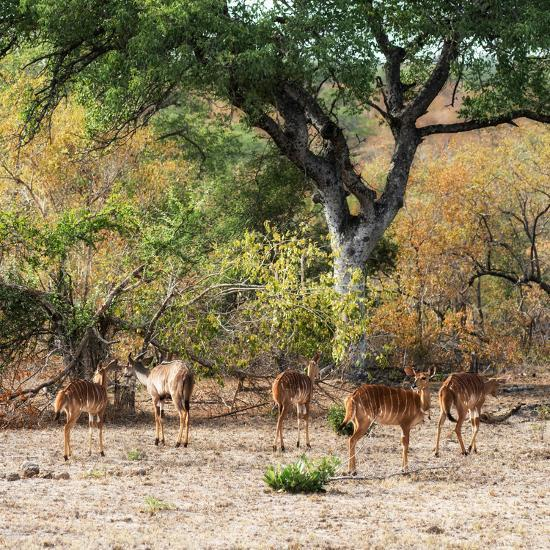 Awesome South Africa Collection Square - Herd of Impalas-Philippe Hugonnard-Photographic Print