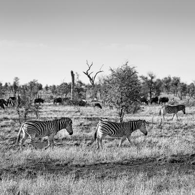 Awesome South Africa Collection Square - Herd of Zebra B&W-Philippe Hugonnard-Photographic Print