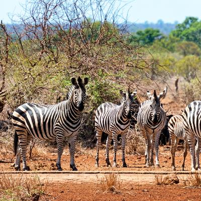 Awesome South Africa Collection Square - Herd of Zebra II-Philippe Hugonnard-Photographic Print