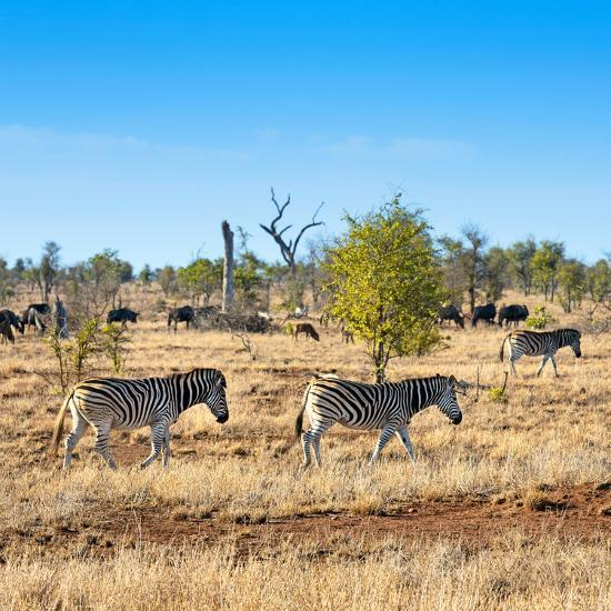 Awesome South Africa Collection Square - Herd of Zebra-Philippe Hugonnard-Photographic Print