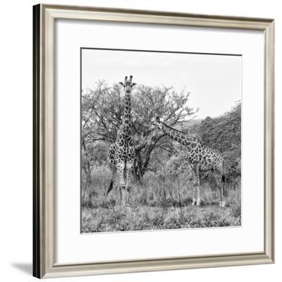 Awesome South Africa Collection Square - Look Giraffes B&W-Philippe Hugonnard-Framed Photographic Print