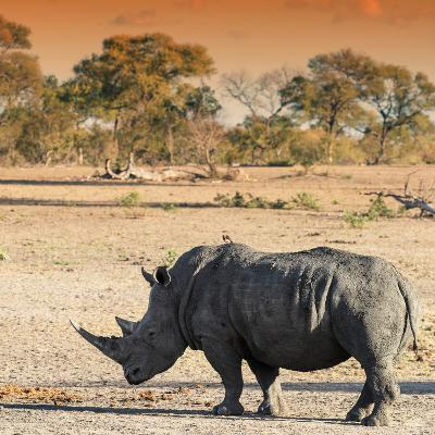 Awesome South Africa Collection Square - Rhinoceros in Savanna at Sunset-Philippe Hugonnard-Photographic Print