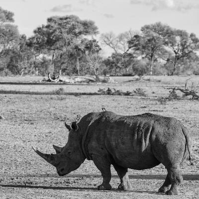 Awesome South Africa Collection Square - Rhinoceros in Savanna-Philippe Hugonnard-Photographic Print