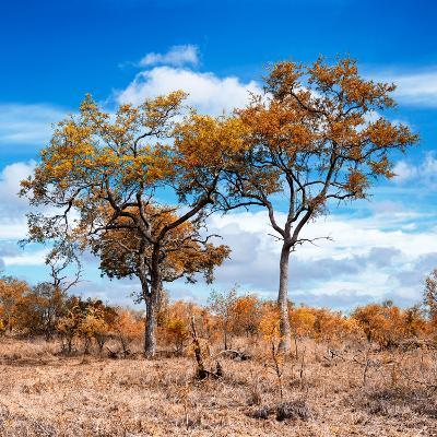Awesome South Africa Collection Square - Savannah Trees in Fall Colors II-Philippe Hugonnard-Photographic Print