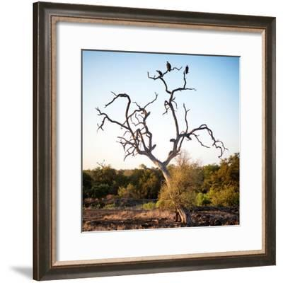 Awesome South Africa Collection Square - Three Whitebacked Vulture on the Tree-Philippe Hugonnard-Framed Photographic Print