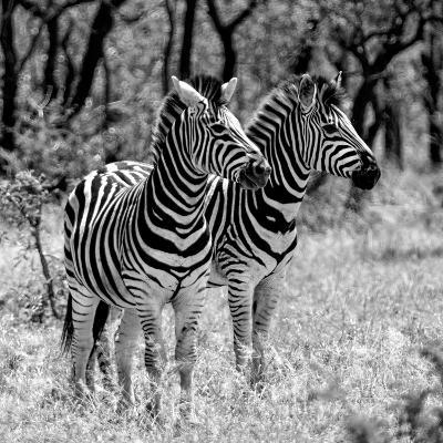 Awesome South Africa Collection Square - Two Burchell's Zebras B&W-Philippe Hugonnard-Photographic Print