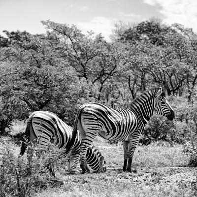 Awesome South Africa Collection Square - Two Burchell's Zebras II B&W-Philippe Hugonnard-Photographic Print