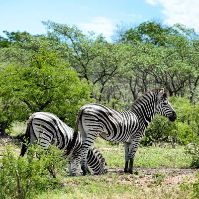Awesome South Africa Collection Square - Two Burchell's Zebras II-Philippe Hugonnard-Photographic Print