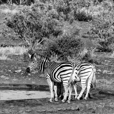 Awesome South Africa Collection Square - Two Burchell's Zebras III B&W-Philippe Hugonnard-Photographic Print